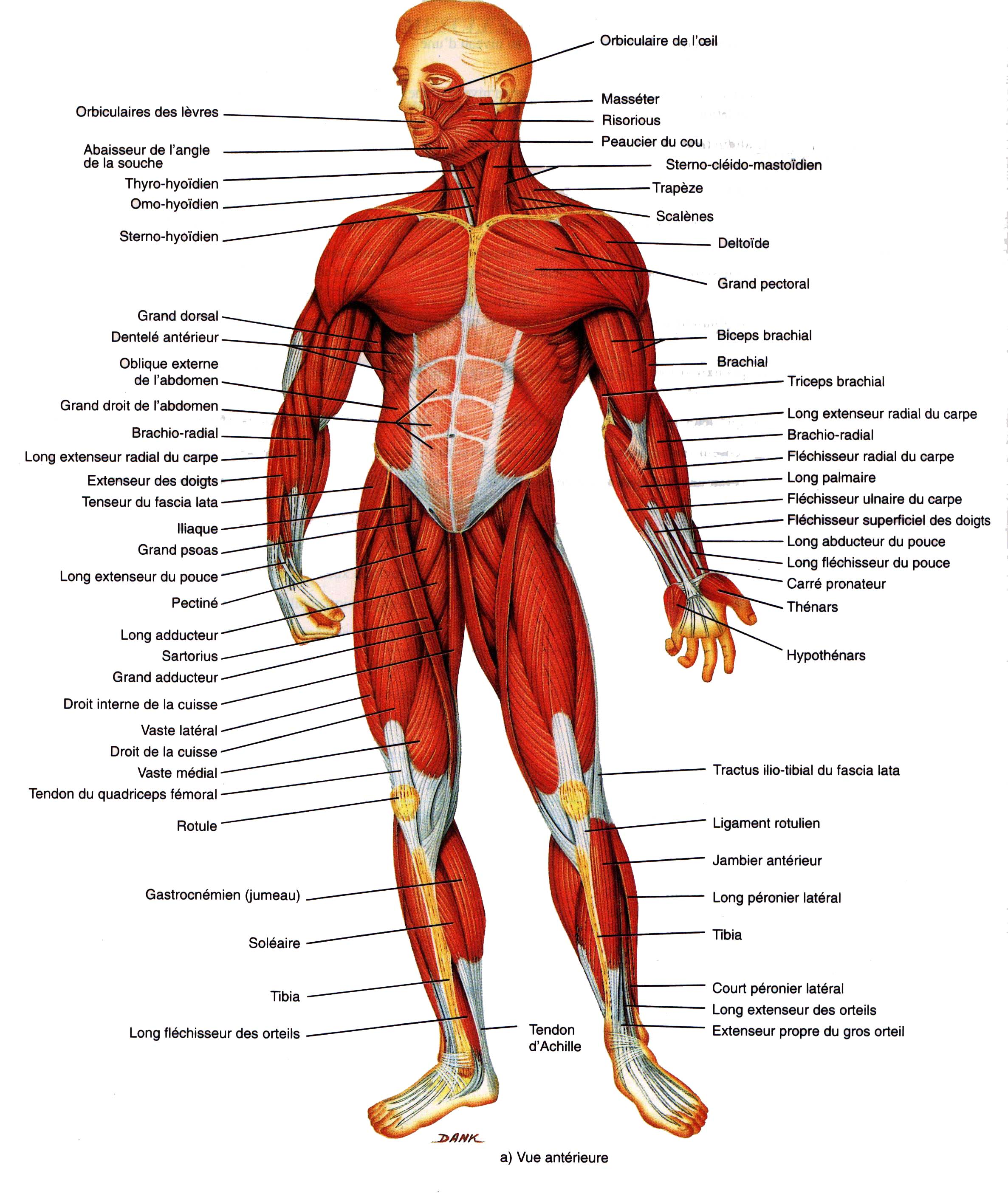Anatomie Image anatomie - jirufeke76.over-blog
