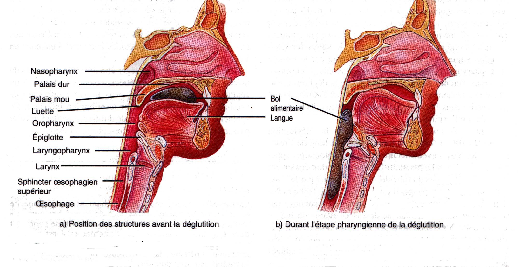Pharynx et larynx pooptronica